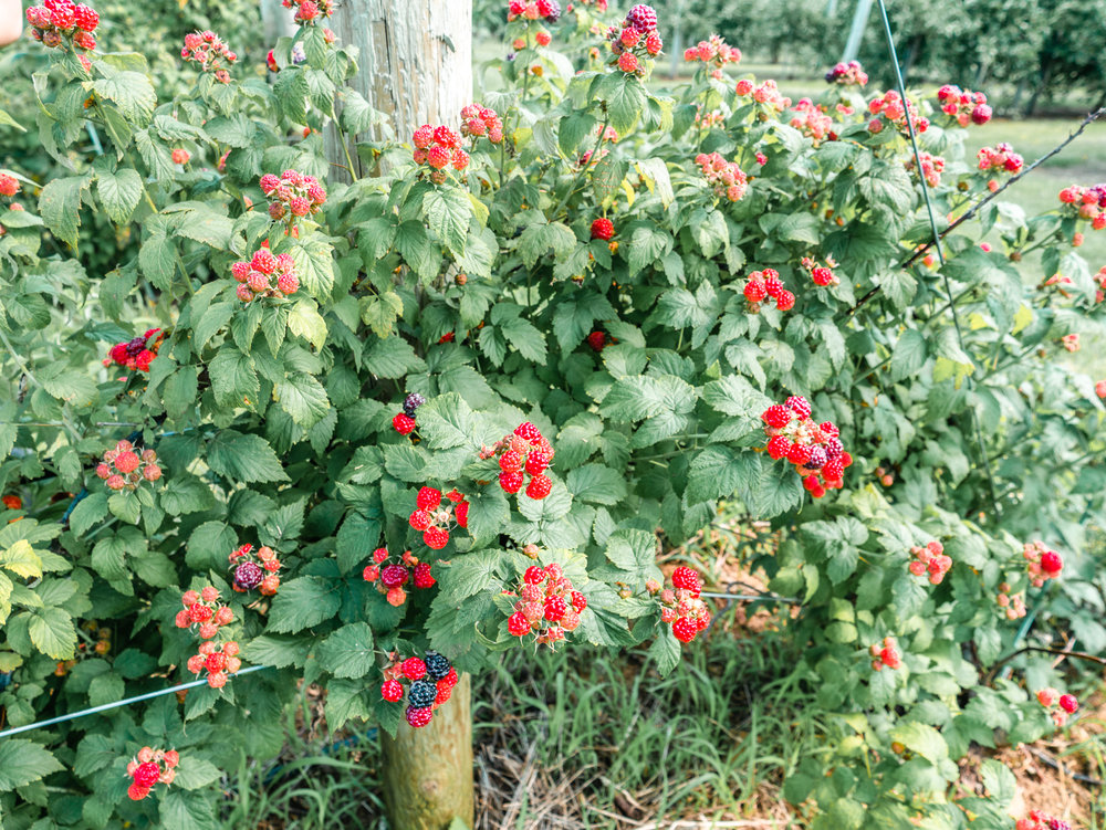 紐約 採草莓
